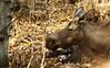 October 21, 2013.  A moose